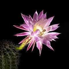 20210811 EchinopsisOxygona DSC08836 PtrQs.jpg