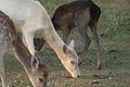 3 Colors Of Fallow Deer.jpg