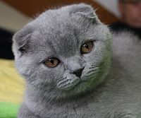 3mo lilac Scottish Fold Fanel.jpg