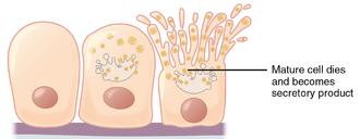 Holocrine - Holocrine secretion