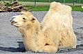 50 Jahre Knie's Kinderzoo - Camelus bactrianus (Trampeltier) 2012-10-03 15-13-27.JPG