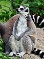 50 Jahre Knie's Kinderzoo Rapperswil - Lemur catta 2012-10-03 15-29-36.JPG