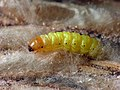 62.001 BF1428 Bee Moth, Aphomia sociella, larva (8562435030).jpg