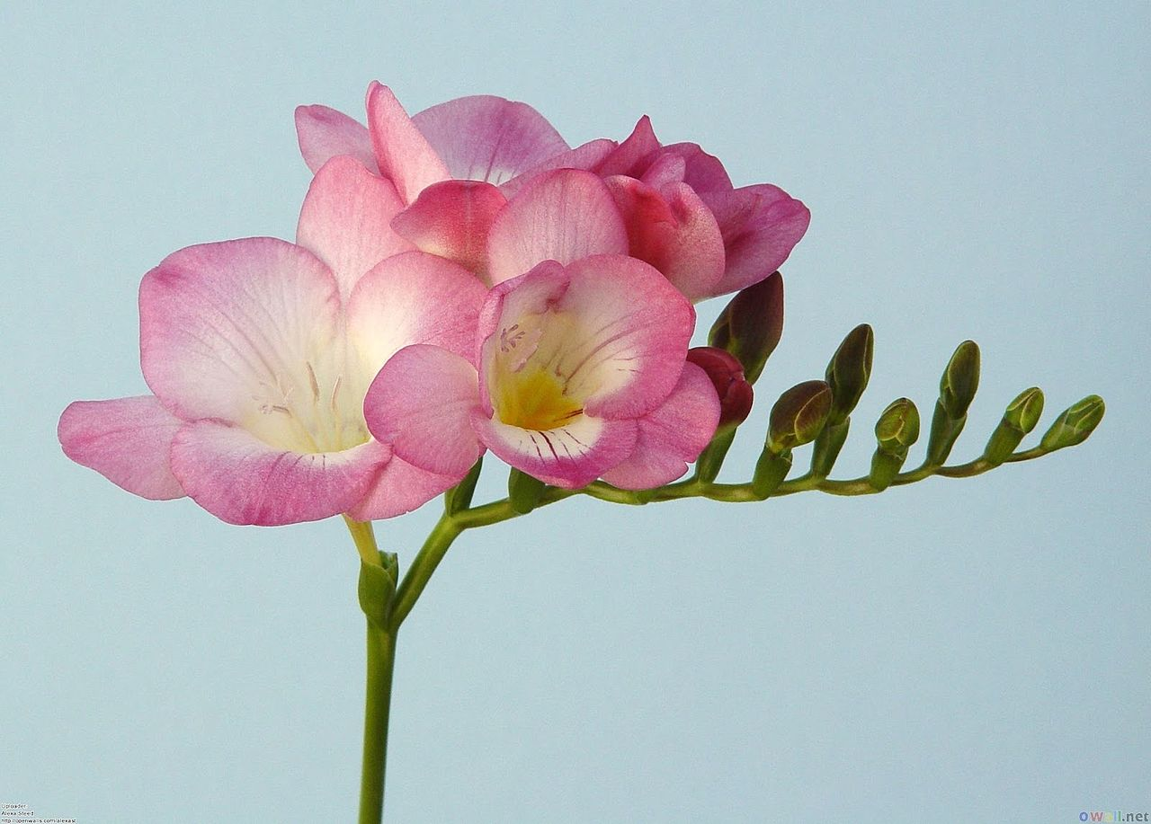 pink freesia flower