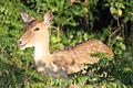 A Spotted Deer or Chital in Jim Corbett National Park, Uttarakhand, India.jpg