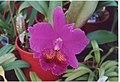 A and B Larsen orchids - Brassolaeliocattleya Lucky Strike Mangkorn No2 986-23.jpg