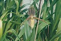 A and B Larsen orchids - Paphiopedilum St Swithin 801-1.jpg