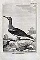 A bird, the common booby. Etching with engraving. Wellcome V0022255EL.jpg