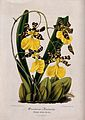 A butterfly orchid (Oncidium barkerii); flowering plant. Col Wellcome V0044284.jpg