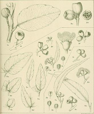 Eucalyptus eudesmioides - Image: A critical revision of the genus Eucalyptus (1903 33.) (20685887966)