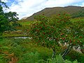 A good year for Rowanberries - Glen Strathfarrar. - geograph.org.uk - 1521199.jpg