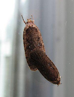 Depressariinae - Mating Agonopterix heracliana