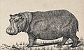 A hippopotamus. Reproduction of an etching by F. Lüdecke. Wellcome V0020802.jpg