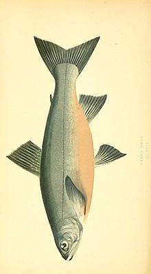 A history of the fishes of the British Islands (1862) (14776378792).jpg