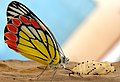 A just born butterfly - Common Jezebel (Delias eucharis).jpg