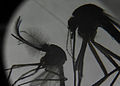 A male mosquito, left, and a female mosquito are shown through a microscope in the expeditionary medical facility (EMF) at Camp Lemonnier, Djibouti, June 7, 2013 130607-F-VA021-041.jpg
