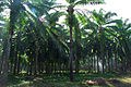 A man uses a ling stick with a knife on the end to harvest the fronds of the Palm oil tree. (10662376496).jpg