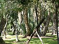 A park in Marrakech - Palms.jpg