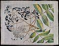 A plant (Zanthoxylum rhetsea) related to knobthorn; branch w Wellcome V0042640.jpg