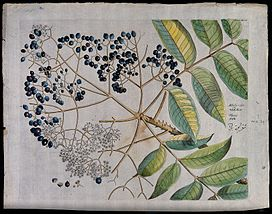 A plant (Zanthoxylum rhetsea) related to knobthorn; branch w Wellcome V0042640.jpg