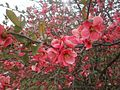 A quince bush near the park office explodes in bright salmon blossoms. (13929836716).jpg