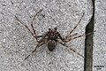 A rather fine spider (Bat.) (15973265956).jpg