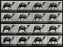 A single humpback camel walking. Photogravure after Eadweard Wellcome V0048777.jpg