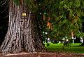 A very old tree at Ballarat botanical garden.jpg