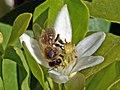 Abeille sur une fleur d'oranger - Flickr - loutraje.jpg