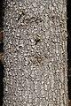 Abies alba bark Silesian Beskids.jpg