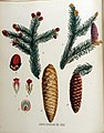 Abies excelsa — Flora Batava — Volume v16.jpg