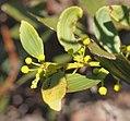 Acacia complanata flowers.jpg