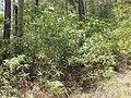 Acacia macradenia habit.jpg