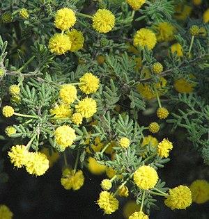 Acacia - A. plicatum
