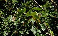 Acer-monspessulanum