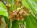 Acer buergerianum seeds.jpg