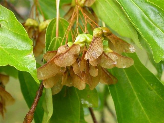 Acer buergerianum seeds