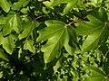 Acer campestre 004.jpg