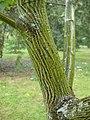 Acer capillipes.jpg