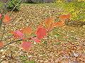 Acer capillipes0.jpg