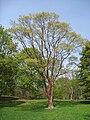 Acer griseum, Arnold Arboretum - IMG 5928.JPG