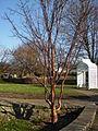 Acer griseum leafless.JPG