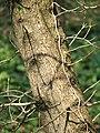 Acer monspessulanum subsp turcomanicum bark.jpg