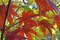 Acer palmatum 'Osakazuki'.JPG
