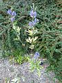 Aconitum uchiyamai (Ranunculaceae) (plant).jpg