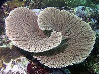 Acropora clathrata.jpg