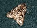 Actinotia polyodon - Purple cloud - Зверобойная совка бурая (41108404341).jpg