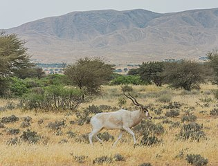 315px-Addax_of_Bouhedma_National_Park_2