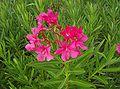 Adelfa (Nerium oleander L.) 2.jpg