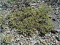 Adenocarpus viscosus (Roque de los Muchachos) 07 ies.jpg